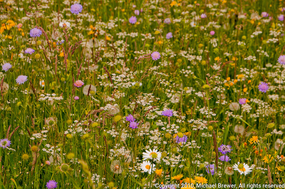 Colorful wildflowers in a Swiss meadow in spring.