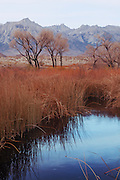 Tall Grass, Cattails, Cottonwood Trees, Sage Plant, Sand Dunes, East Side of High Sierra and Owens River near Lone Pine, California Rivers, Basin and Range