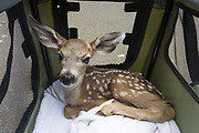 Black-tailed Deer<br /> Odocoileus hemionus<br /> One-week-old orphaned fawn in rescue carrier<br /> Kindred Spirits Fawn Rescue, Loomis, California