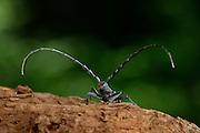 Kleiner Eichenbock (Cerambyx scopolii) auf der Suche nach einem Partner. | Capricorn beetle (Cerambyx scopolii) on oak