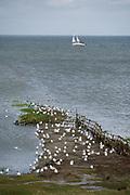 Sylt, Germany. Rantumbecken. Seagulls.
