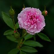 Pink Pet Rose