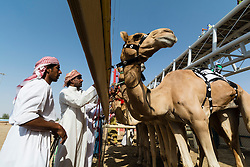 Start of camel race at racecourse in Dubai United Arab Emirates