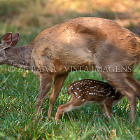 "Veado fêmea ""Mazama gouazoubira"" amamentando filhote, foto de Ze Paiva/Vista Imagens"