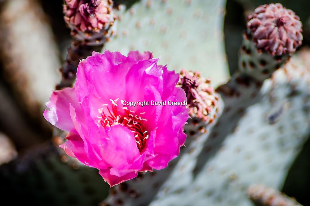Purple Prickly Pear (Opuntia Violacea v. Santa-Rita)