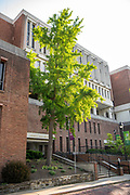 college green, Mapp Athens, summer, Tree Tour, Ginko