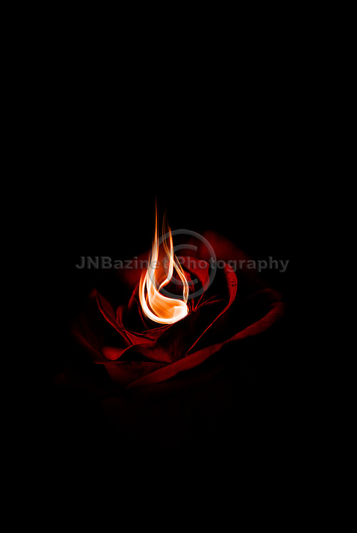 A single red rose on fire with scorch marks, illustrating love & passion.