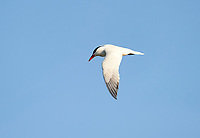 Caspian Tern (Sterna caspia)in flight over Lake Chapala, Jocotopec, Jalisco, Mexico