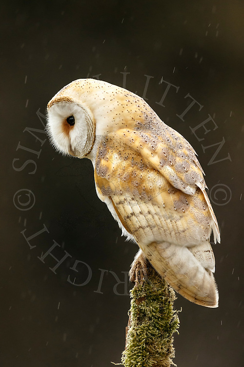 Barn Owl (Tyto Alba) adult perched on post during shower, Norfolk, UK.