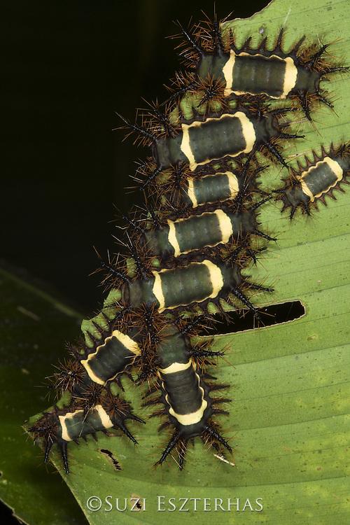 Cup Moth Caterpillar<br /> Acharia nesea<br /> Osa Peninsula, Costa Rica
