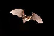 big brown bat (Eptesicus fuscus) flying at night. Sulphur Springs in the Central Washington desert.
