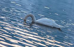 THEMENBILD - Hoeckerschwan am Zeller See, aufgenommen am 27. Jänner 2018, Zell am See, Österreich // Mute Swan at the Lake Zell on 2018/01/27, Zell am See, Austria. EXPA Pictures © 2018, PhotoCredit: EXPA/ Stefanie Oberhauser