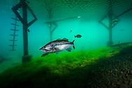 Largemouth Bass (under boat dock)<br /> <br /> Jennifer Idol/Engbretson Underwater Photography