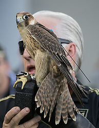 April 29, 2018 - Los Angeles, California, U.S - Trainer with hawk during opening game festivities prior to the MLS game between the LAFC and the Seattle Sounders on Sunday April 29, 2018, their first game at the Banc of California Stadium in Los Angeles, California. LAFC defeats Sounders, 1-0. (Credit Image: © Prensa Internacional via ZUMA Wire)