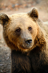 ROMANIA ZARNESTI 25OCT12 - Sammy, a Eurasian brown bear licks her paw inside the Hauser enclosure at the Zarnesti Bear Sanctuary in Romania, funded by WSPA.....With over 160 acres (70 hectares) spread over a wooded hillside, it is Romania's first bear sanctuary and today houses 67 bears rescued from ramshackle zoos and cages at roadside restaurants.....jre/Photo by Jiri Rezac / WSPA....© Jiri Rezac 2012