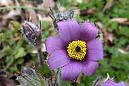 A Pasque flower (Pulsatilla vulgaris - formerly Anemone pulsatilla) blooming after a spring rain. Pasque flowers are usually some of the first blooms to appear in the spring garden after bulbs such as daffodils and bluebells.