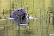 Eurasian beaver (Castor Fiber) feeding on reeds, Knapdale Forest, Argyll, Scotland.