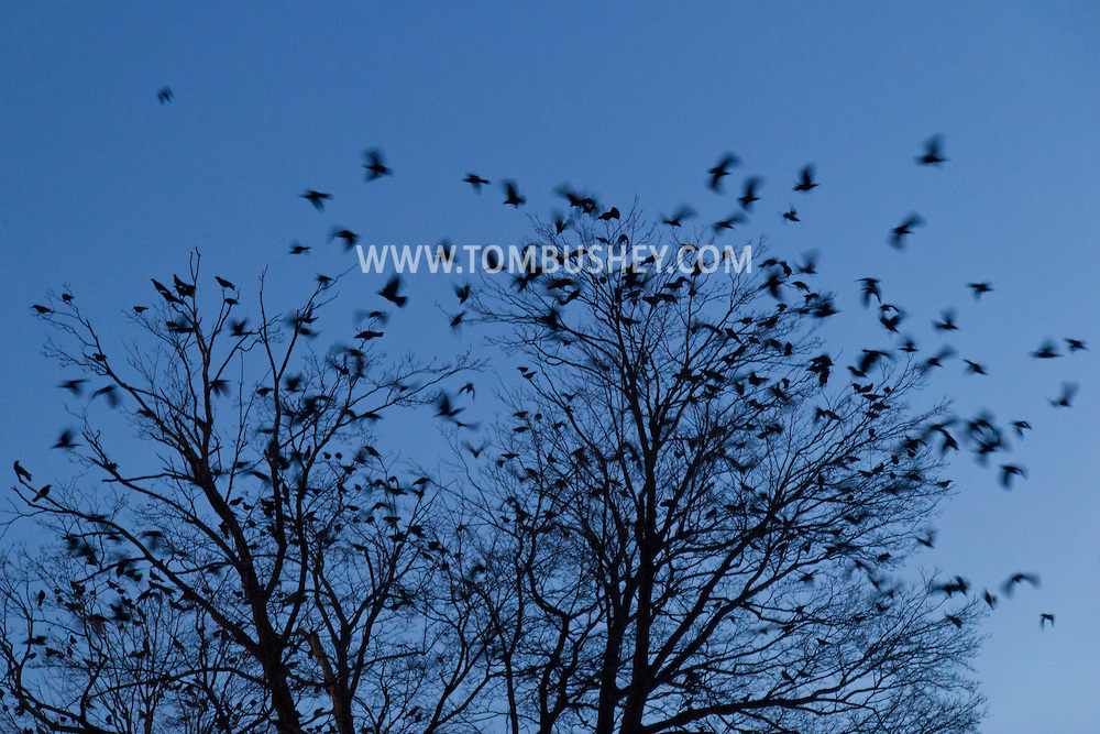 Middletown, New York - Crows converge on downtown Middletown at twilight on  Nov. 23, 2014.