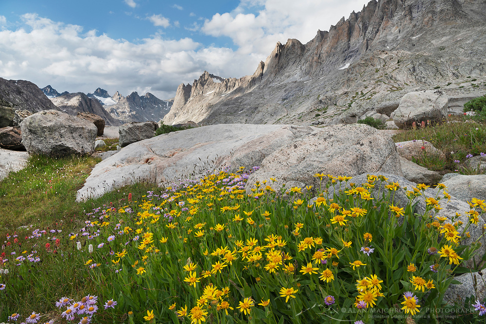 Titcomb Basin wildflowers composed of yellow Arnica, Bridger Wilderness, Wind River Range Wyoming