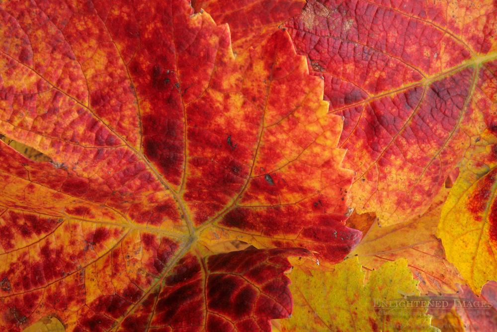 Wine grape leaves on vine in fall, Cambria Winery, near Santa Maria, Santa Barbara County, California