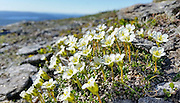 Fjellpryd, Diapensia lapponica, the pincushion plant, is a plant in the family Diapensiaceae, the only circumpolar species in the genus Diapensia. På Bringen i Sør-Trøndelag. The plants grow on exposed rocky ridges that are kept free from snow by high winds.[1] Diapensia is extremely slow and low-growing and cannot compete with plants that over top it. The plant is very sensitive to higher temperatures. It usually dies when transplanted to lowland gardens.  Canadian plants are thought to live to over a century or two.