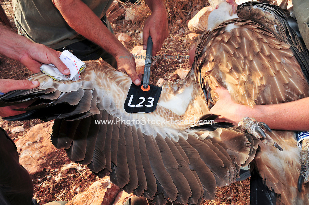 Griffon vulture (Gyps fulvus). Griffon vultures are scavenger birds with a wingspan of between 230 and 265 centimetres. They are native to mountainous areas of the Mediterranean, Africa and Asia, and feed mainly on the carcasses of large mammals. Photographed in Israel at the Carmel Mountains Hai Bar wildlife sanctuary and breeding centre. These vultures are a breeding nucleus some will soon be released back to the wild. A bird is being ringed and marked before releasing it back to nature