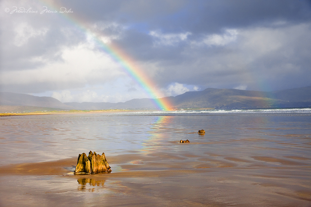 Old Tree stump at Reenroe Beach near Ballinskelligs with colourful Rainbow and stormy Sky, County Kerry, Ireland / rb022