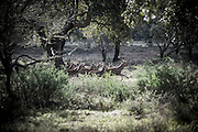 """A running herd of deer, February 2014<br /> <br /> """"The Pose and the Prey""""<br /> <br /> Hunting in my imagination was always more like taxidermy — as if the prey was just a mere accessory of the hunter's pose for his heroic photograph — the real trophy.<br /> <br /> When I decided to document the daily lives of Portuguese hunters, I had in my memory the """"cliché"""" from the photographer José Augusto da Cunha Moraes, captured during a hippopotamus hunt in the River Zaire, Angola, and published in 1882 in the album Africa Occidental. The white hunter posed at the center of the photograph, with his rifle, surrounded by the local tribe.<br /> <br /> It was with this cliché in mind that I went to Alentejo, south of Portugal, in search of the contemporary hunters. For several months I saw deer, wild boar, foxes. I photographed popular hunting and private hunting estates, wealthy and middle class hunters, meat hunters and trophy hunters. I photographed those who live from hunting and those who see it as a hobby for a few weekends during the year. I followed the different times and moments of a hunt, in between the prey and the pose, wine and blood, the crack of gunfire and the murmur of the fields .<br /> <br /> I was lucky, I heard lots of hunting stories. I found an essentially old male population, where young people are a minority. Hunters, a threatened species by aging and loss of economic power caused by the crisis in the South of Europe.<br /> <br /> The result of this project is this series of contemporary images, distant from the """"cliche"""" of 1882.<br /> <br /> — Antonio Pedrosa"""