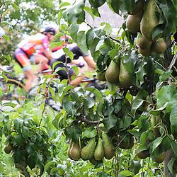 TIEL (NED) wielrennen<br /> De tweede etappe was rond Tiel en ging door de Betuwe. De peren kunnen geoogst worden