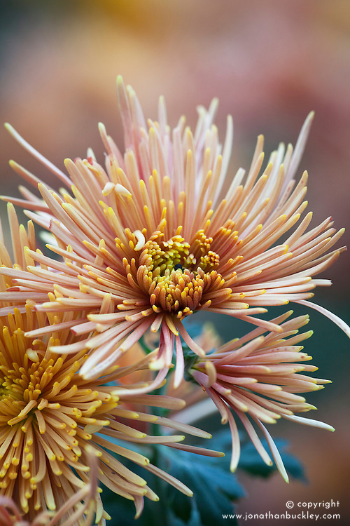 Chrysanthemum 'Aral Bronze'