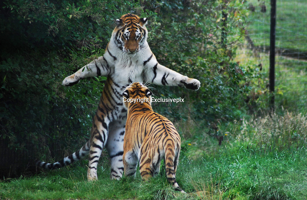 23/8/2009<br /> you will bow to me!<br /> Edward Grant from London Took this amazing picture of two tigers at Whipsnade zoo, This Tiger seem to know who's the boss and by the way he is standing is making sure the rest of the pack know who in charge around Whipsnade Tiger Enclosure.<br /> (&copy;Edward Grant/Exclusivepix)