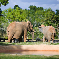 Elephants at Bush Gardens Zoo, Tampa, Florida, USA