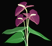 X-ray of Anthurium Flower. Anthurium bouquet (Anthurium andraeanum)
