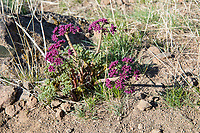 Belonging to the family of wildflowers known as umbellifers that includes carrots, dill and celery, this just-about-to-blossom Columbia desert parsley is an uncommon native to the sagebrush steppes of Washington State and Oregon east of the Cascade Mountains. This one was found growing on the hilltops just outside of Yakima, Washington in mid-March.