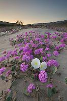 Desert Sand Verbena (Abronia villosa) and Dune Evening Primrose (Oenothera deltoides), Anza-Borrego Desert State Park California