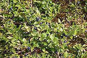 Wild blueberry by the River Tweed, Scottish Borders, Scotland