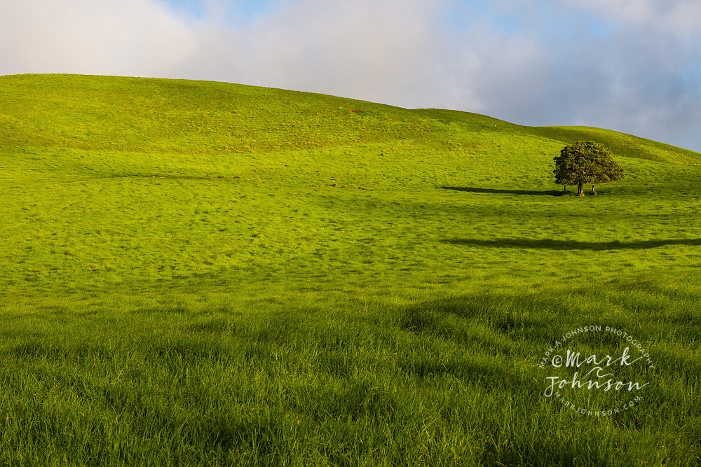 A lone tree on lush pasture land, Waimea, Big Island, Hawaii