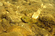 Banded Sculpin<br /> <br /> Engbretson Underwater Photography