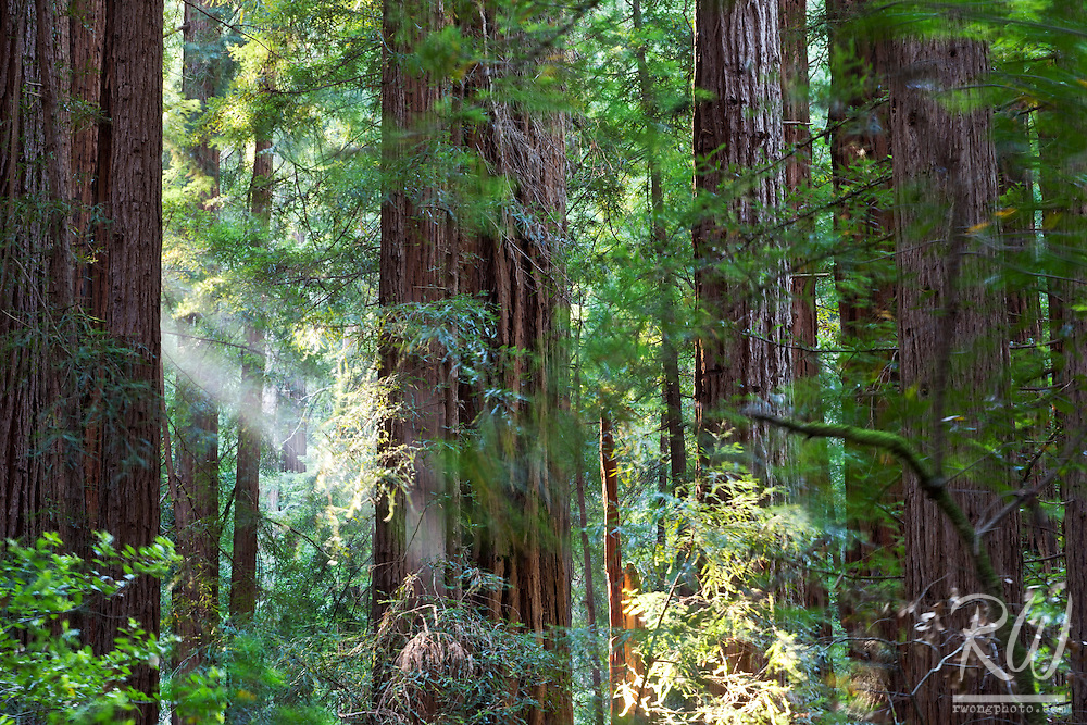 Sunbeam in Old-Growth Redwood Forest, Muir Woods National Monument, California