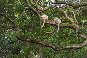 Verreaux's sifaka (Propithecus verreauxi) in Nahampoana Private Reserve, Madagascar