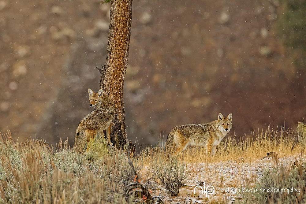 Male and female coyotes on ridge; Yellowstone NP in wild.