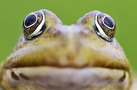 Frog (Rana Esculenta) Prypiat area, Belarus
