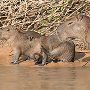 Capybara Parent with Two Young