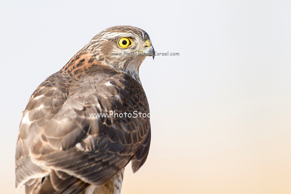 Closeup of Eurasian Sparrowhawk (Accipiter nisus). Photogrphed in Israel