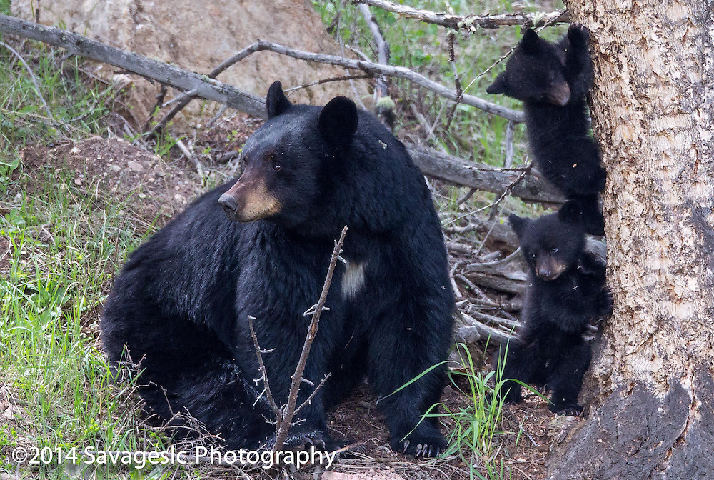 Black bear with cubs. May 2014
