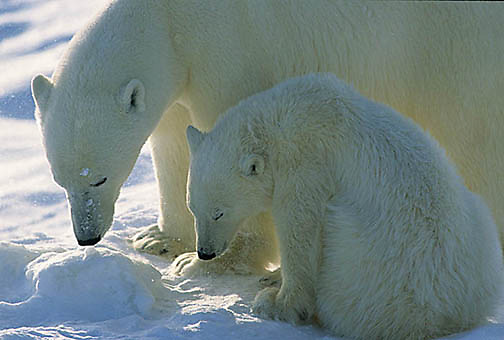 Polar Bear, (Ursus maritimus) Portrait of mother and cub. Churchill, Manitoba. Canada.