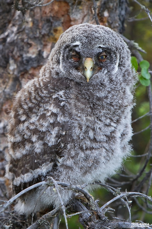 A fledgling great gray owl perches in a tree.