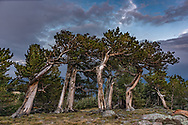 Ancient bristlecone pine grove at timberline, with even-aged trees showing diverse gnarly appearance, Mount Evans Wilderness, CO, © 2017 David A. Ponton, [Prints to 8x12, 16x24, 20x30 or 24x36 in. with no cropping]