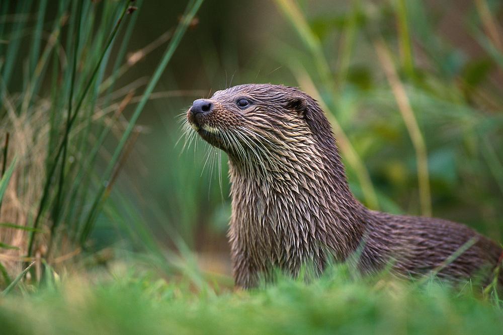 Otter amongst rushes on bankside..?.?...