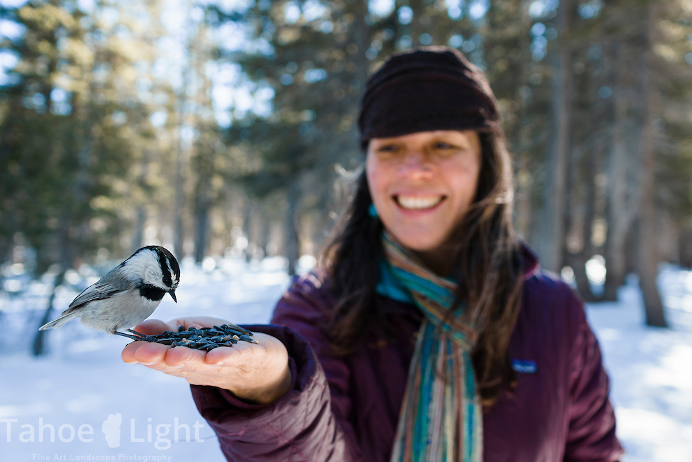 Chickadee ridge on the Mt. Rose summit above Lake Tahoe is where groups of small Chickadee birds will eat wild birdseed out of your hands during winter.